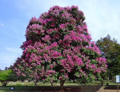 Sementes De Resedá Gigante Lagerstroemia Speciosa Árvore