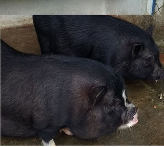 Pareja Mini Pigs A La Venta Hembra Preñada
