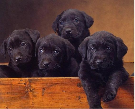 Cachorros Labradores Retriever Negros !!