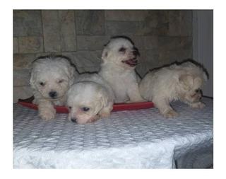Hermosos Cachorros Maltes Garantia, Somos Centro Veterinario