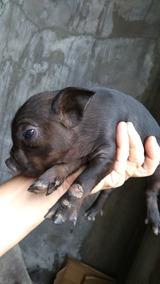 Mini Micro Pig Porquinho Doméstico Caruncho Focinho Curto Bh