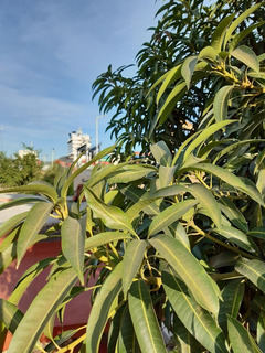 Hojas Frescas De Mango Piña Con Tallo 1 Kilo