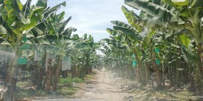 Fundo De 1000 Has Con 200 Has Banana Organica