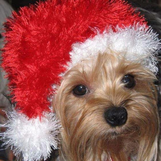 Cachorros Yorkshire Terrier Minis ,miralos.