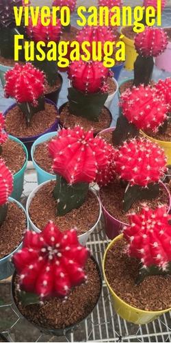 Cactus Coreanos. Rojos.
