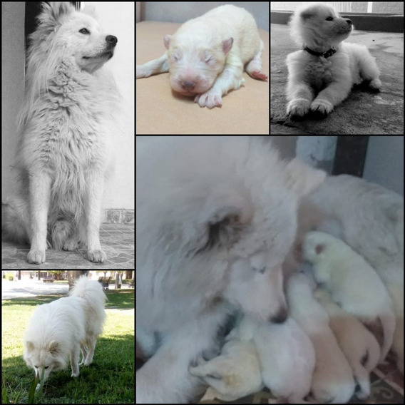 Cachorros Samoyedos
