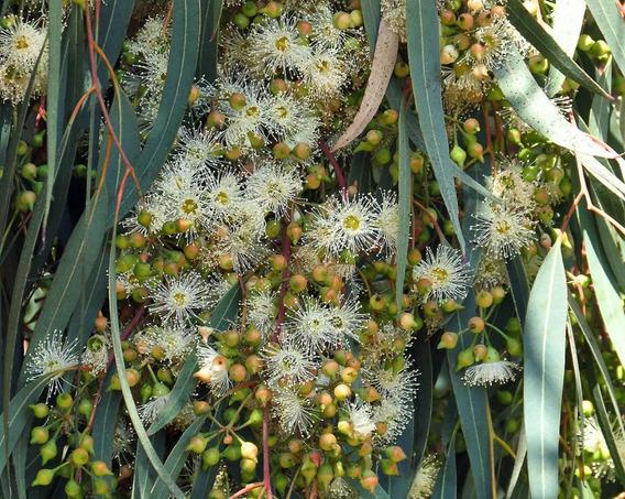 Eucalipto Camaldulensis * 250 Sementes P/ Mudas
