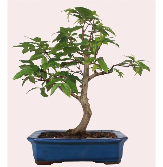 Bonsai De Jabuticaba Plantas Semeadura E Cultivo No