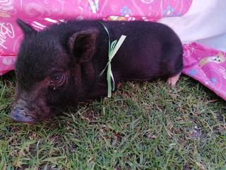 Cerdito Mini Pig Oferta