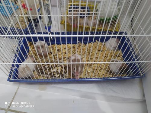 Vendo Filhotes De Hamster Olhos Vermelhos E Olhos Pretos  20