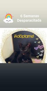Gatitas Adopción