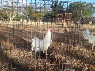 Gallos Blanco De Pelea