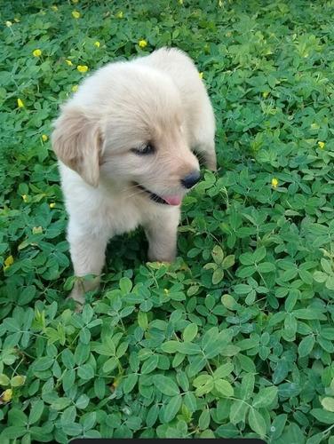 Cachorro Golden Retriever Macho Vacunado Sano