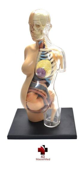 Anatomia Do Torso Gravidez - Grávida Corpo Humano