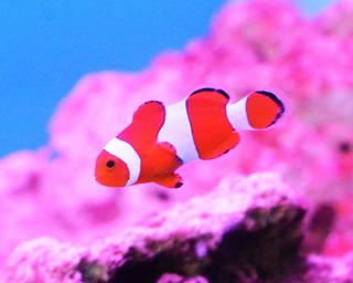 Pez Payaso Ocellaris Nemo 3 Cm Peces Acuarios Marinos