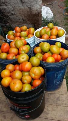 Tomate Riñon Y Cherry De Invernadero Semi Organico