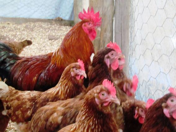 1 Duzia De 15 Ovos Galados Galinha Embrapa 051 Poedeira Pura