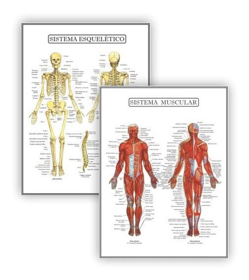 2 Poster Educação Fisio Esquelético Muscular - Plastificado