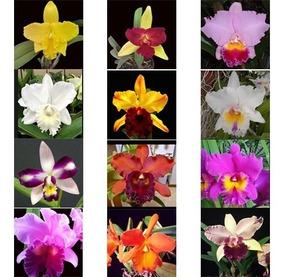48 Mudas Orquídea Cattleya - Frete Grátis Para 10 Estados