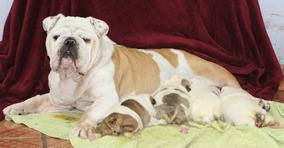 Filhotes De Bulldog Inglês, Maravilhosos
