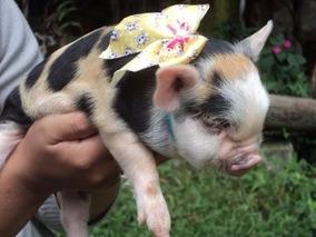 Filhote Mini Pig Fêmea - Excelente Linhagem