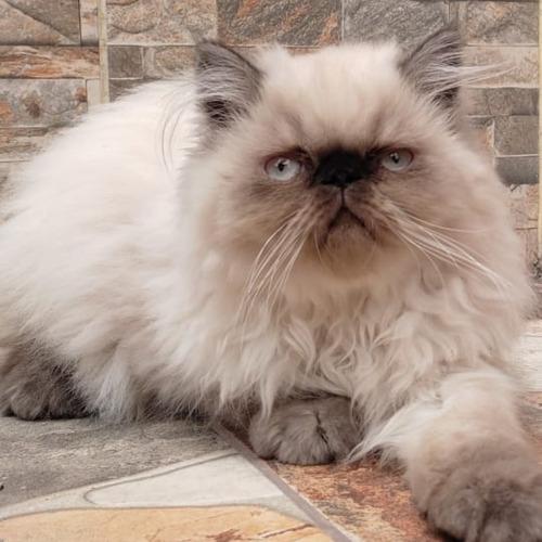 Imagen 1 de 6 de Gatos Persa Himalayos Eje Cafetero