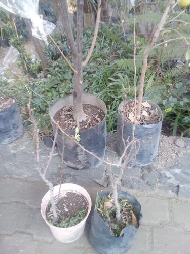 Imagen 1 de 5 de Frutales.peras:variedades Bosc, Barlett Y Pera De Agua