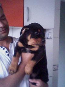 Filhotes Rottweiler Cabeça Touro Vacina Vermifugo Pedigree
