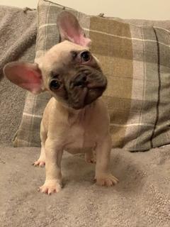 Cachorros Bulldog Francés Apuestos E Inteligentes