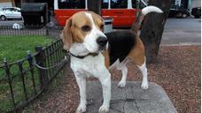 Beagle Macho Para Servicio De Monta