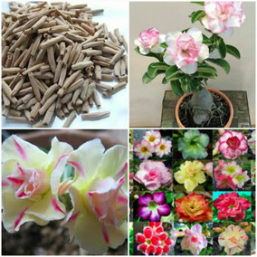 50 Sementes Orquídea Himalaia Flor + 10 Rosa Deserto Tripla