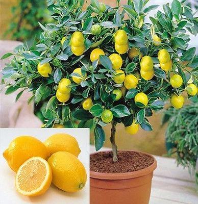 Limão Tahiti, Limão Cravo, E Limão Siciliano
