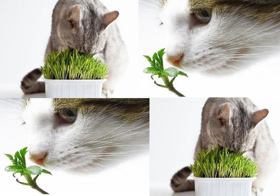 Sementes De Grama E Erva Dos Gatos+ Produto Excelente