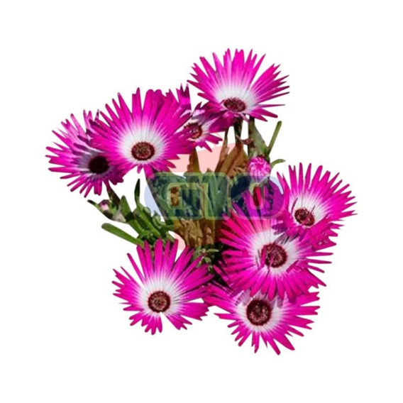 1000 Sementes Da Flor Ficóide Tapete Mágico # Original
