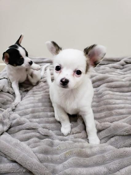Filhote De Chihuahua Pelo Curto - Lindo!!