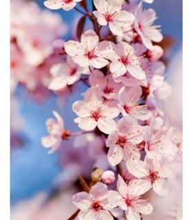Cerezo Sakura Japonés - Muy Lindos - Calidad. Hab. X Senasa
