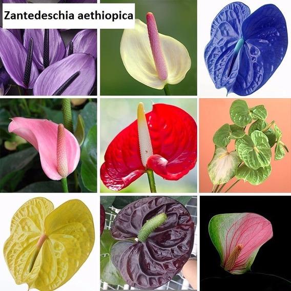 10 Sementes De Antúrio Ou Flor Verniz P/ Jardim Ou Sementes