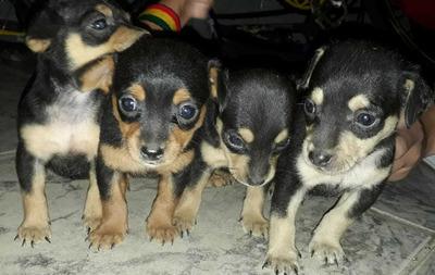 Vende Se Cachorro Pincher