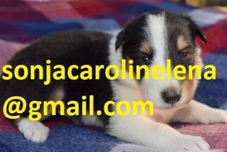 ¡hola! Soy Richard Habla Sobre Los Hermosos Cachorros Collie
