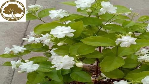 Imagen 1 de 2 de Jazmin Dama De Orleans ( Planta ) Jasminum Sambac / 70cm