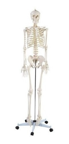 Esqueleto Humano Modelo Anatomico Adulto 1.8 Mts Envío Grati