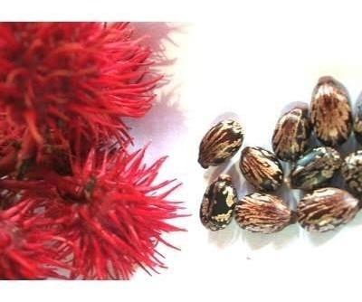 30 Sementes De Mamona Vermelha