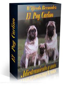 El Pug Carlino Adiestramiento Y Mas