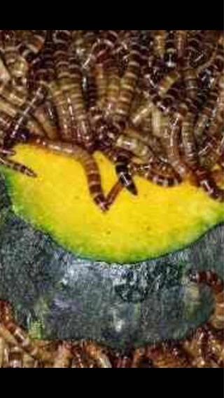 Tenebrio Gigante 300 Larvas Frete Grátis Algumas Regiões