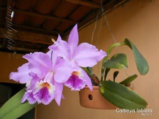Orquidea Cattleya Labiata