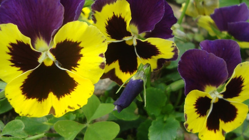 50 Semillas Flor Viola Cornuta Helena + Obsequio Germinación
