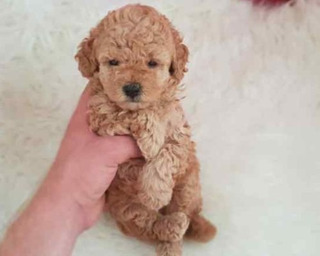 Preciosos Enanitos Frech Poodle Minitoy Miniatura Tacita D T