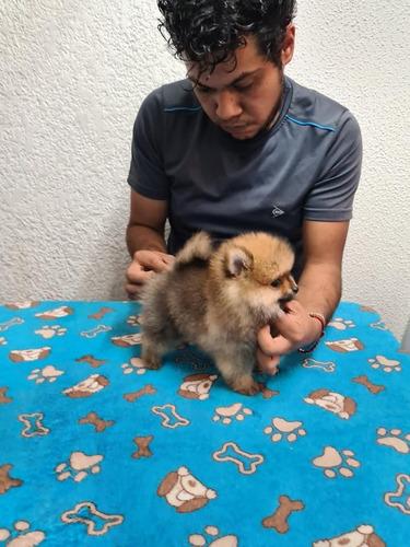 Cachorros Pomerania Listos