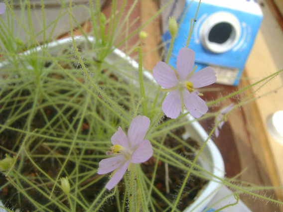 Byblis Liniflora - 20 Sementes