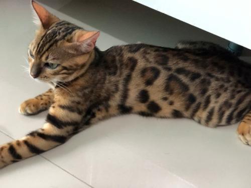 Gatos Bengal Femea Sem Castra De Roseta -linhagem Exclusiva
